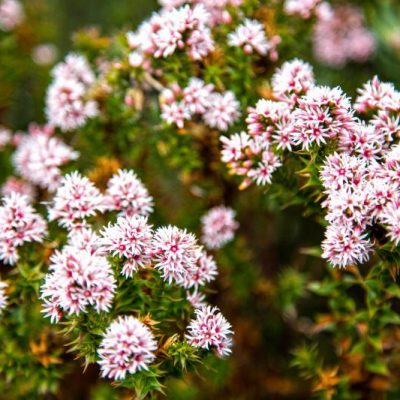 Some of the beautiful Kunzea flowers you'll see on the three Capes Track, Walking Tour, Tasmania Australia | Image courtesy Tasmania Parks and Wildlife Service