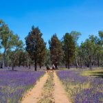 Flinders Ranges Walking Tour with Park Trek - Hikers walking through a field of purple flowers