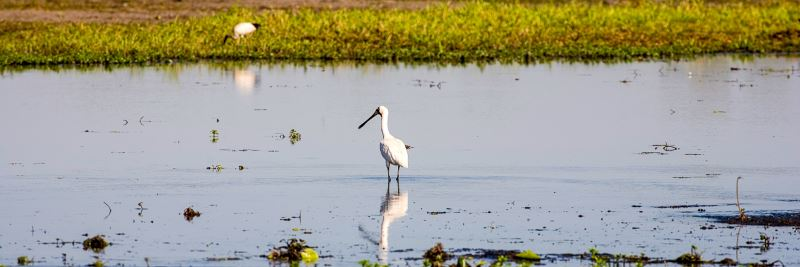 A spoonbill bird - one of the many wildlife critters you can see on our Family Tour in the Northern Territory, Australia