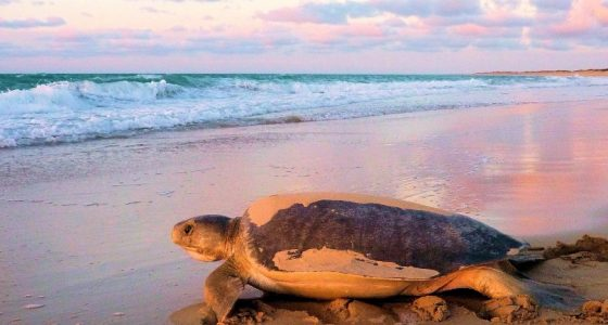 Turtle going Back to Sea at Sunset