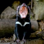 Tassie Devil - look at those chompers!