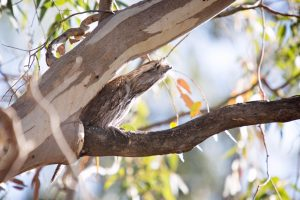 Frogmouth sitting in a tree