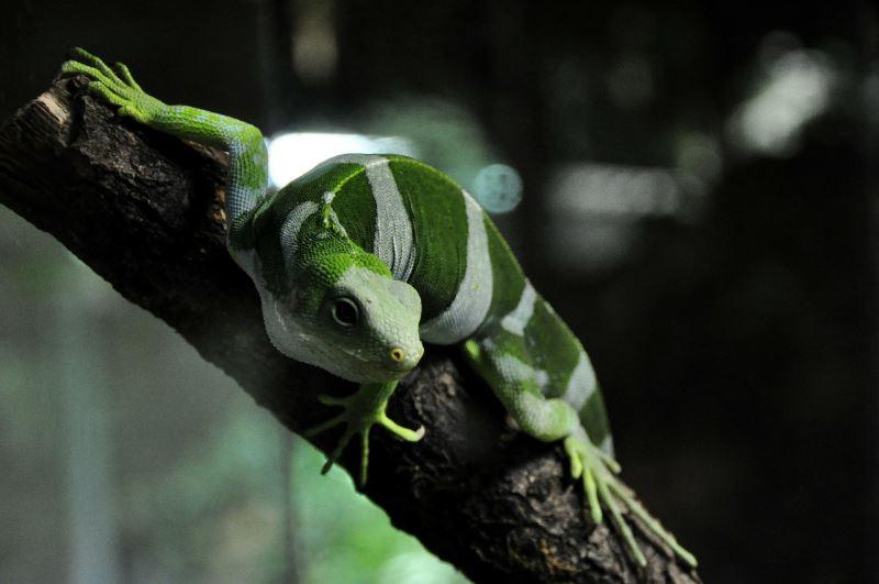 Iguana on Fiji