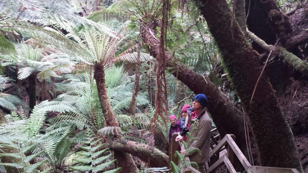Tarkine tree ferns
