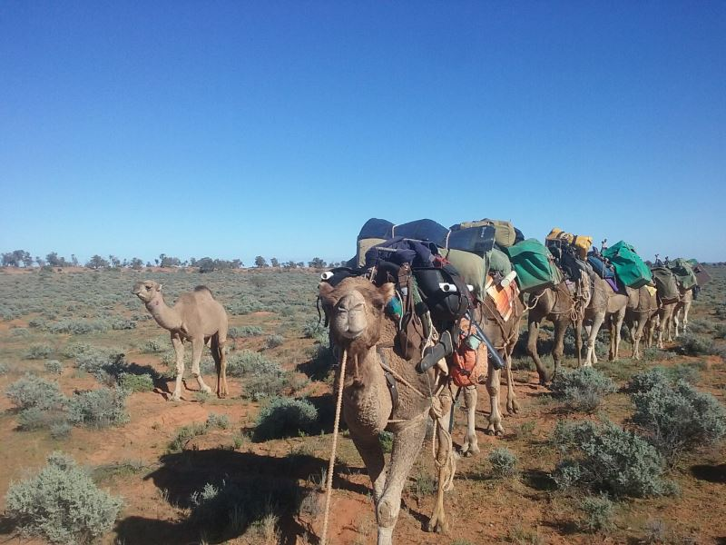 camels walking with packs